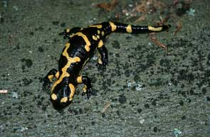 2011-01-salamandre-marco