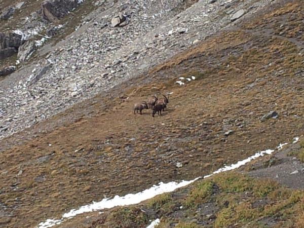 2013-10-gpe-montagne-ibex