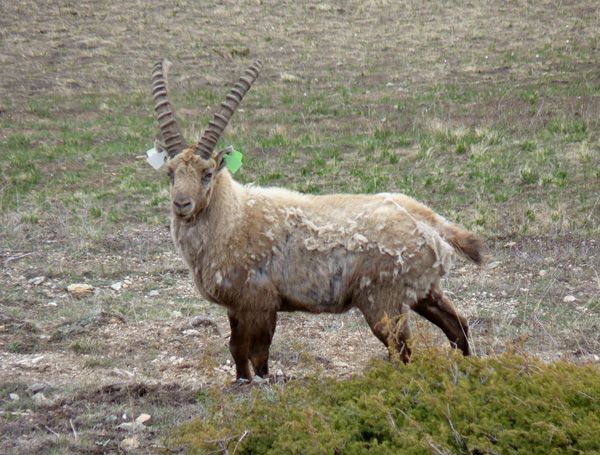 14-04-capture-ibex-cerces3