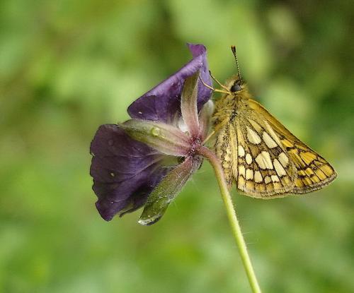 2009-06-papillon