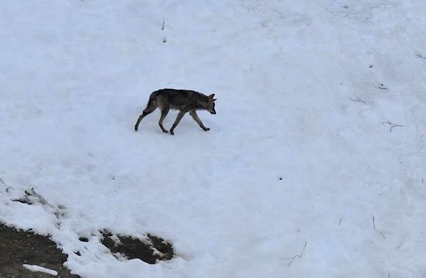 2011-04-18-loup1-f-morin