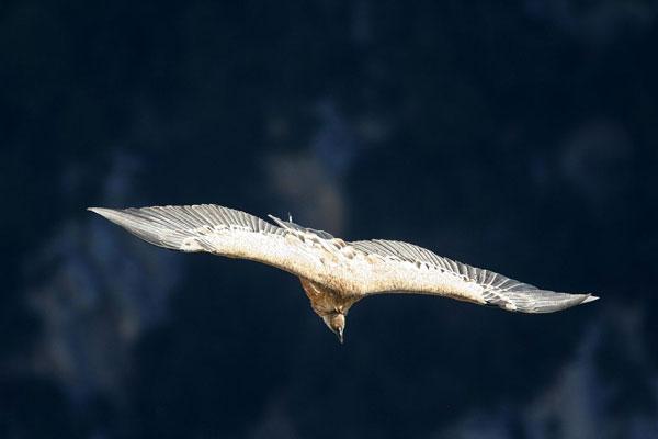 2012-03-vautour-cc