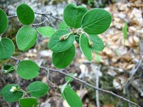 2010-06-flore-cotoneaster