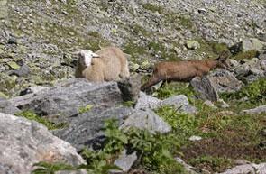 2011-05-mouton-chamois