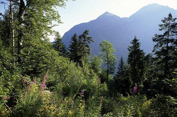 sapin en forêt