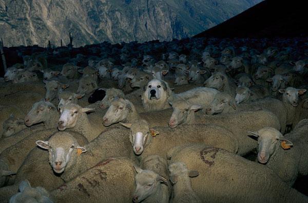 2012-12-patou-troupeau