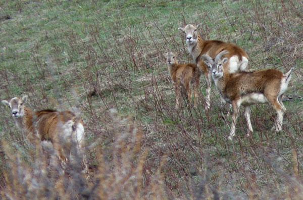 2012-04-bb-mouflons1