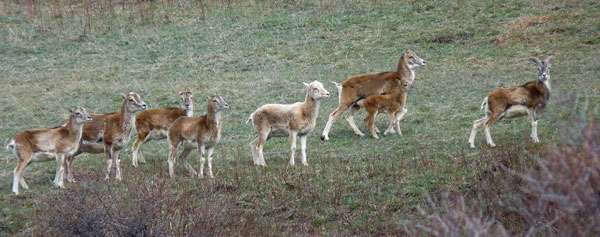 2012-04-bb-mouflons2