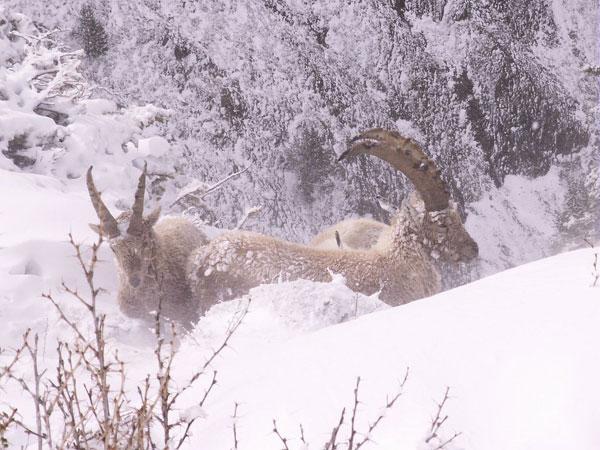 2012-12-ibex-hiver
