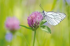 trefle-papillon-m-coulon