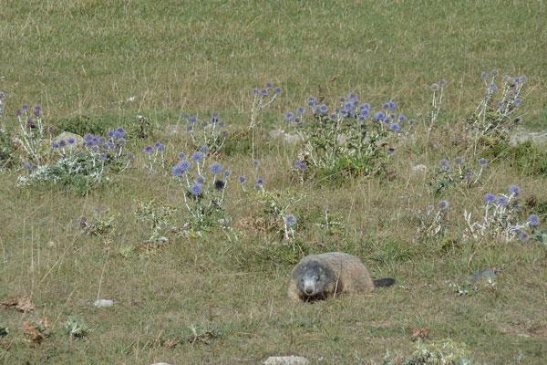 14-jd-champ-marmotte