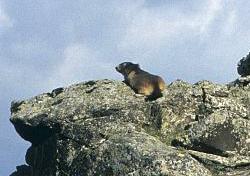 ressource-marmotte-03