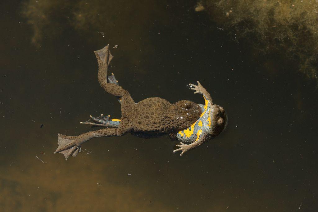 Accouplement de sonneurs à ventre jaune - Les Lagiers -  Chorges © Marc Corail - Parc national des Ecrins