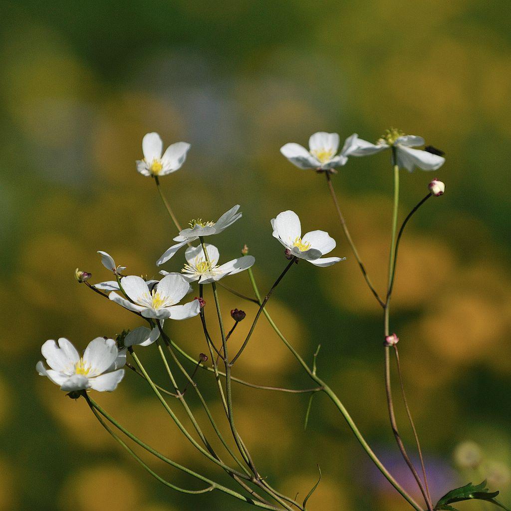 Renoncule à feuilles de platane © Mireille Coulon - Parc national des Ecrins