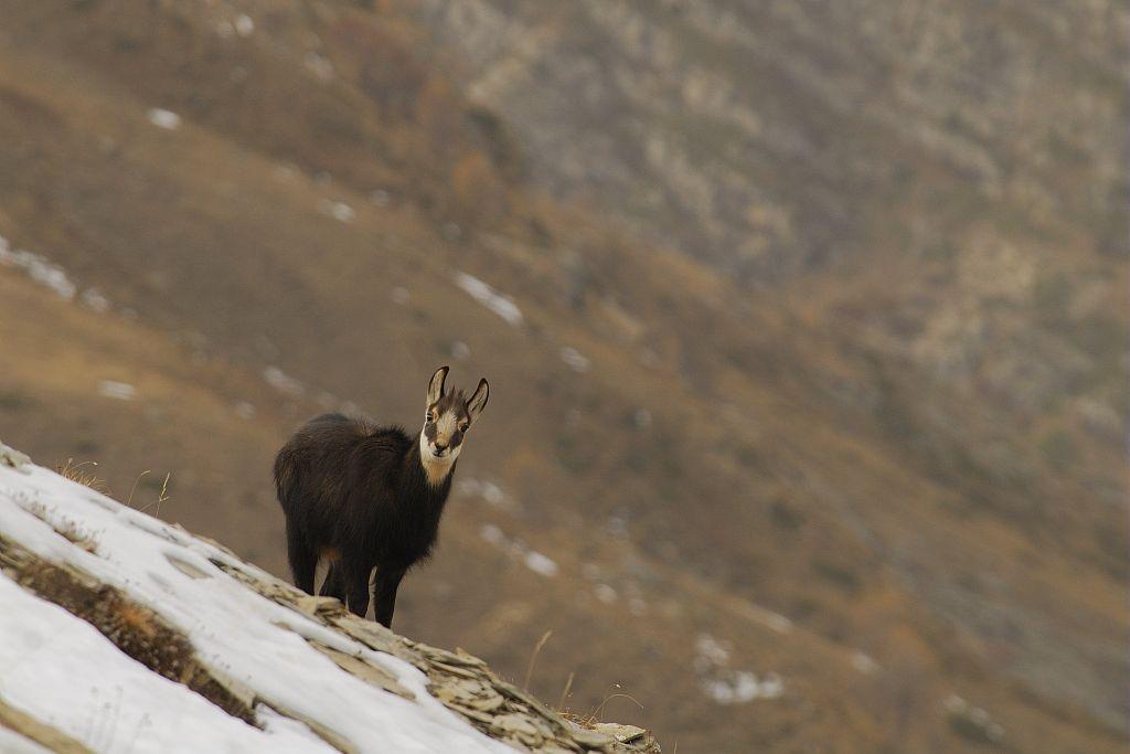 Chamois à Chargès ©Mireille Coulon - Parc national des Ecrins
