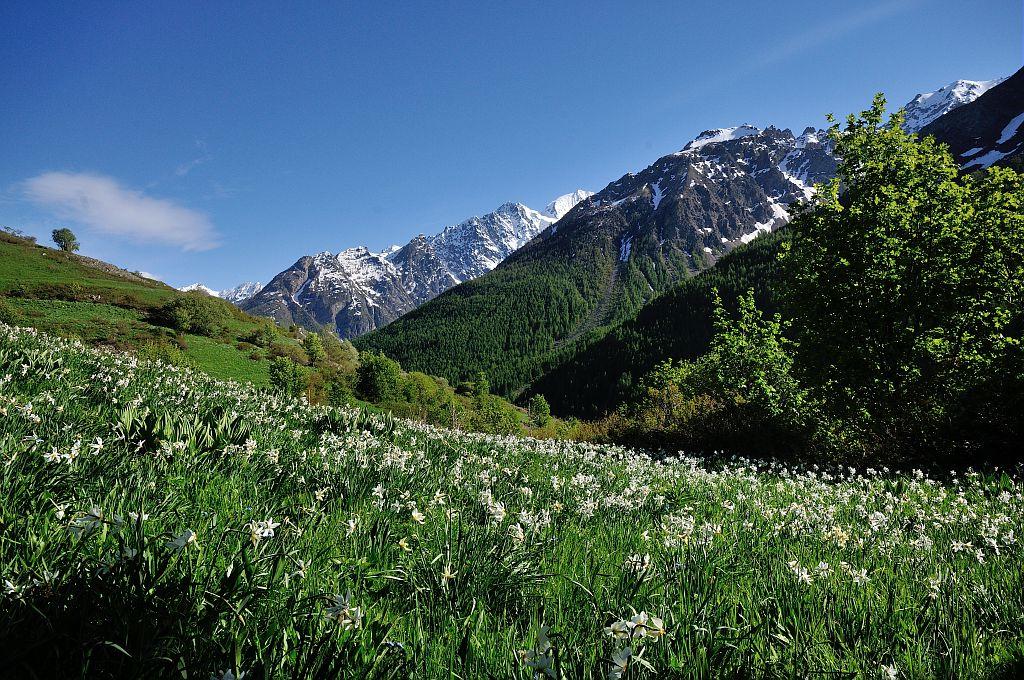 pont de l'alp champ de narcisse © Mireille Coulon - Parc national des Ecrins