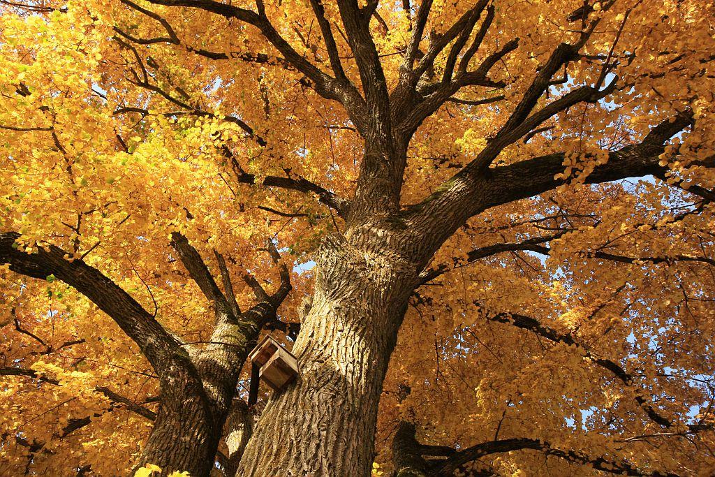 Tilleul aux Rissents © Marc Corail - Parc national des Ecrins