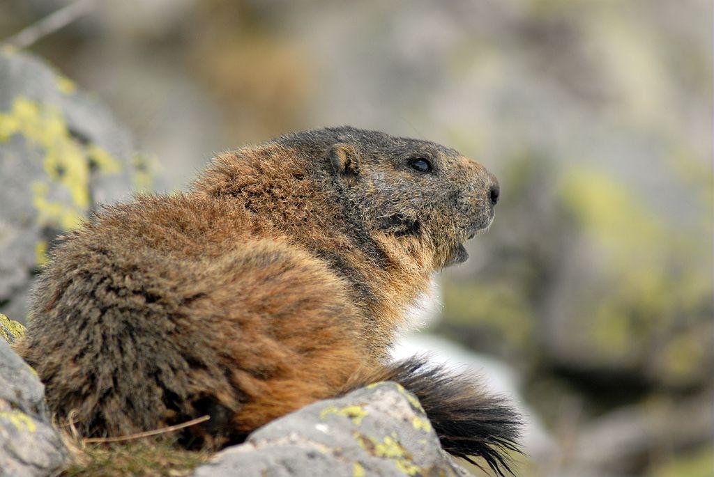 Marmotte au printemps - Saut du Laire - Prapic © Rodolphe Papet - Parc national des Ecrins