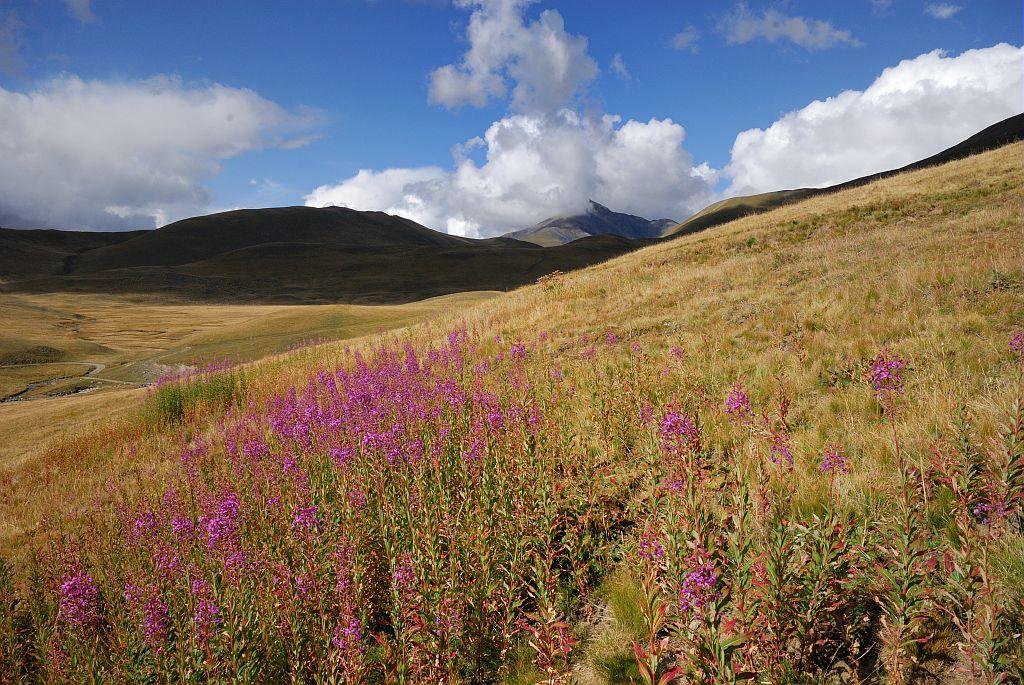 Epilobes en épis sur le plateau d'Emparis - Besse-en-Oisans ©Mireille Coulon - Parc national des Ecrins