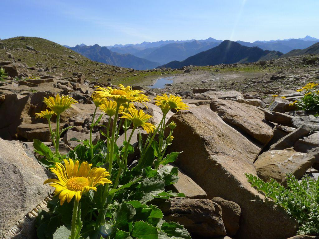 Vallon de Narreyroux - Seneçon Doronic - Puy saint Vincent  ©Thierry Maillet - Parc national des Ecrins