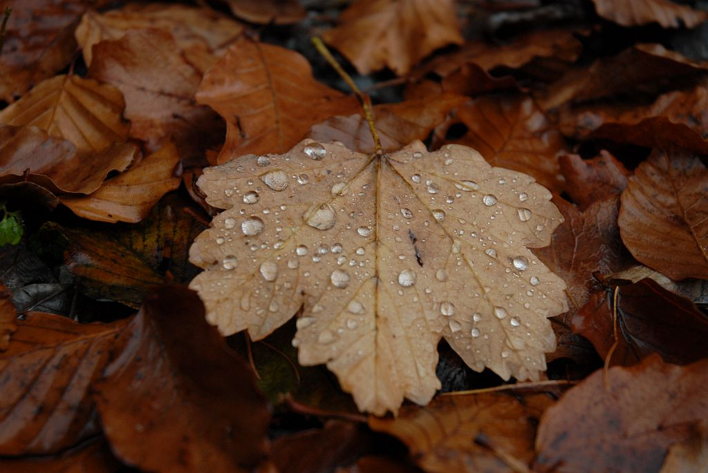 feuille d'automne - photo R.Papet - PN Ecrins