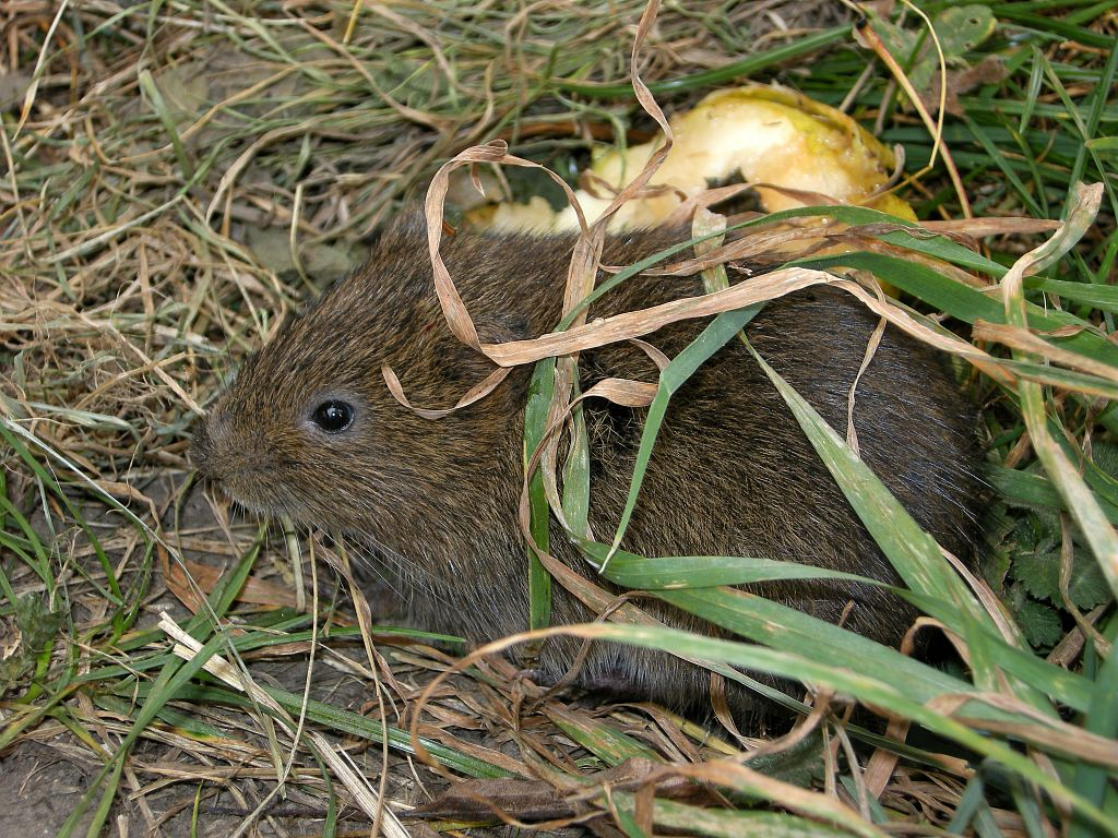 petit mammifère - photo D.Combrisson - Parc national des Ecrins