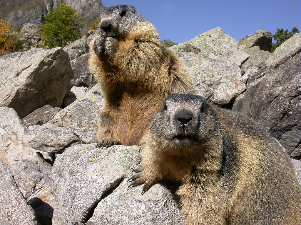 Marmotte   - photo Denis Fiat  - PN Ecrins