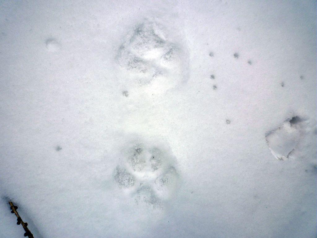Trace de loup dans la neige - © T-Maillet - Parc national des Ecrins