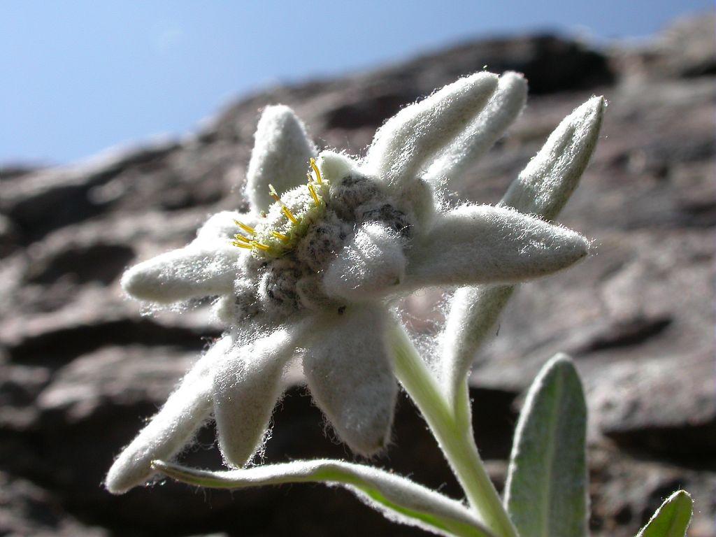 Edelweiss © C-Albert, Parc national des Ecrins