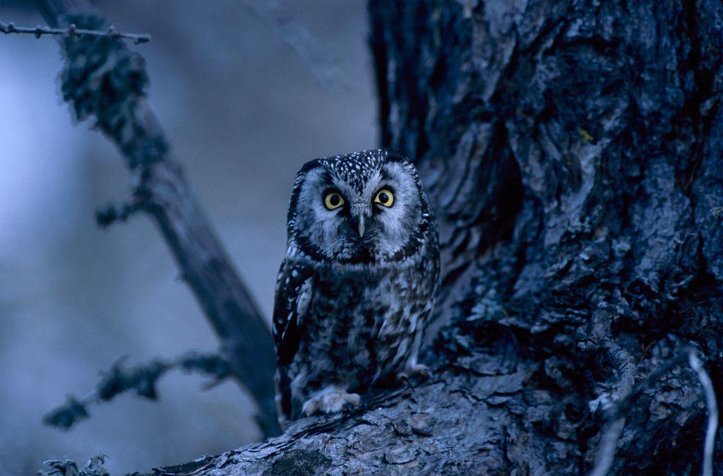 chouette de Tengmalm © C. Couloumy - Parc national des Ecrins