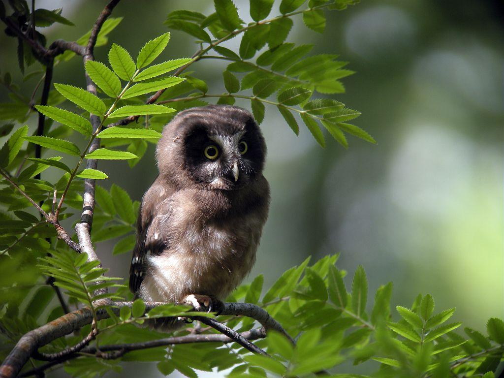 Chouette © Damien Combrisson - Parc national des Ecrins