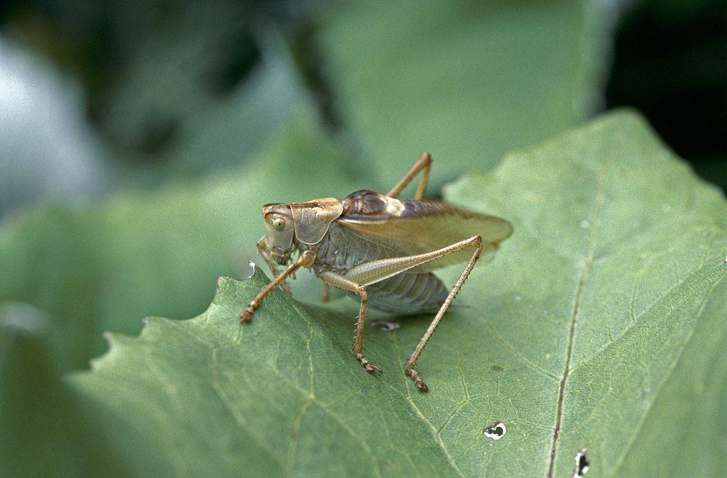 sauterelle cymbalière © Parc national des Ecrins