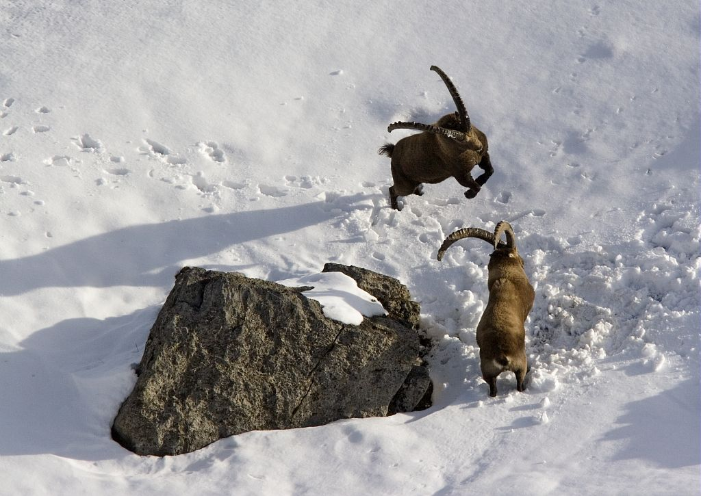 Combat bouquetins - © Robert Chevalier - Parc national des Ecrins