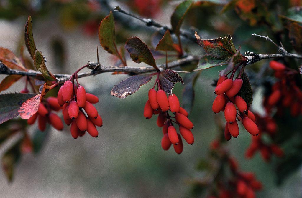 Epine vinette © Bernard Nicollet - Parc national des Ecrins