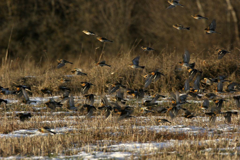 Pinsons du nord en vol - © Marc Corail - Parc national des Ecrins