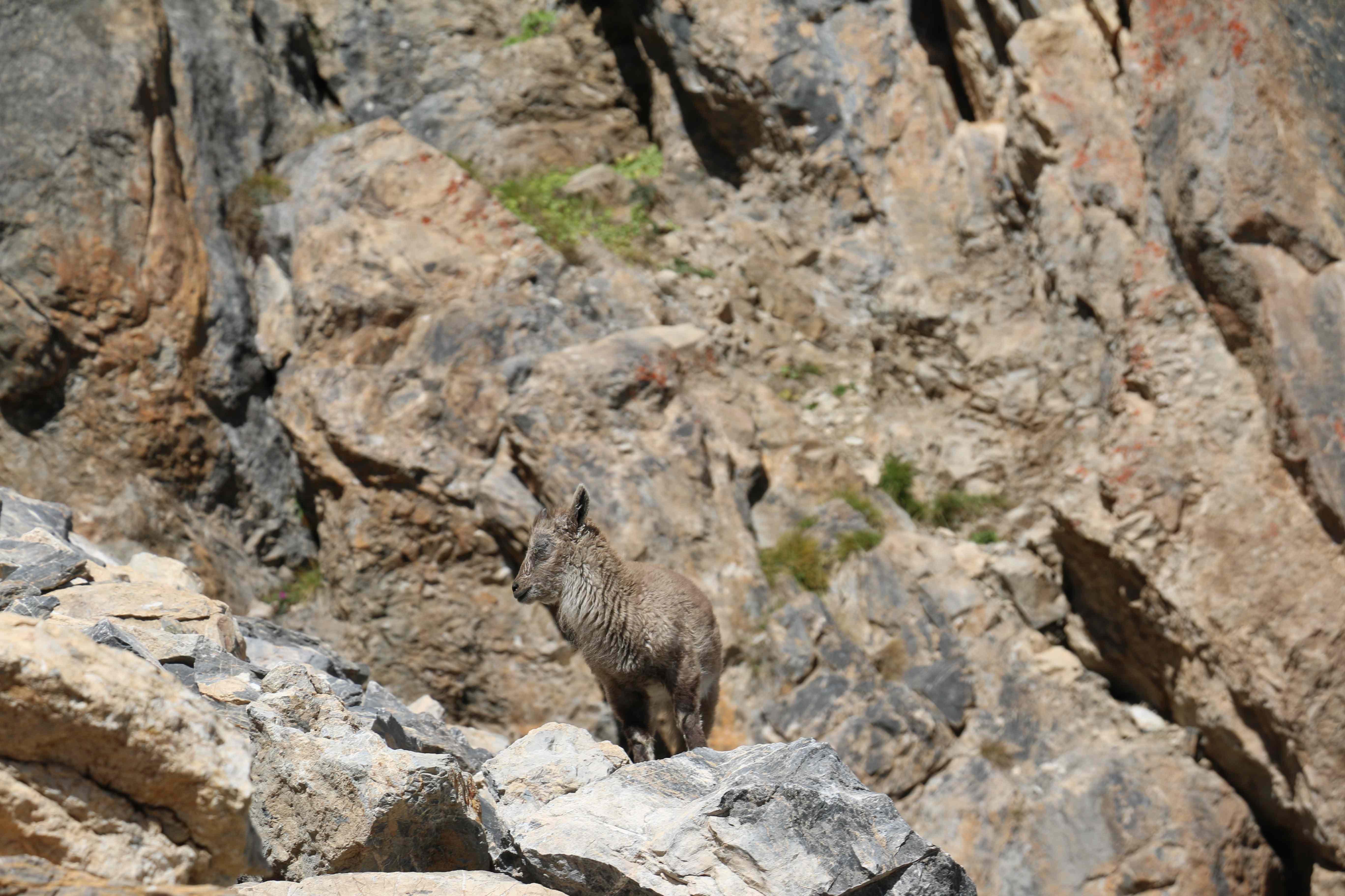 Jeune bouquetin touché par la kérato-conjonctivite - Parc national des Ecrins