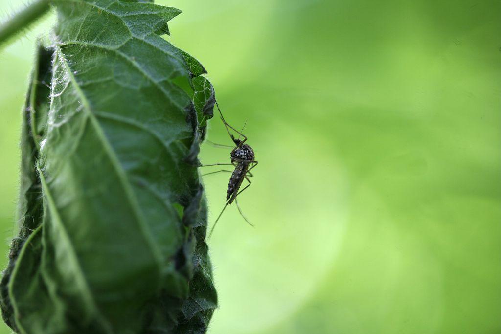 Moustique © Bernard Nicollet - parc national des Ecrins