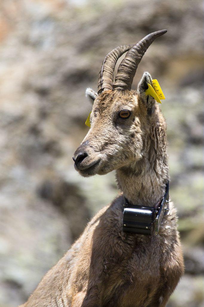 Bouquetin marqué © P.Saulay - Parc national des Ecrins