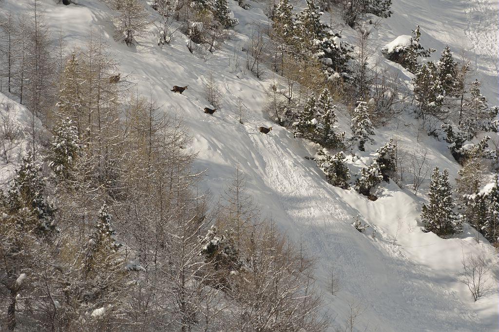 groupe de chamois - Reallon © M.Coulon - Parc national des Ecrins