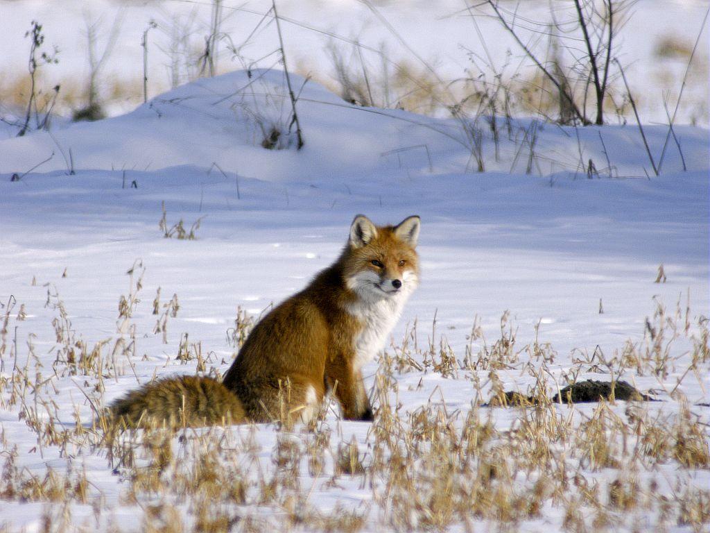 Le renard © D.Combrisson - Parc national des Écrins