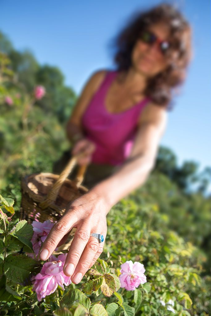 Cueillette de roses aux Jardins des Hautes Terres © Pascal Saulay