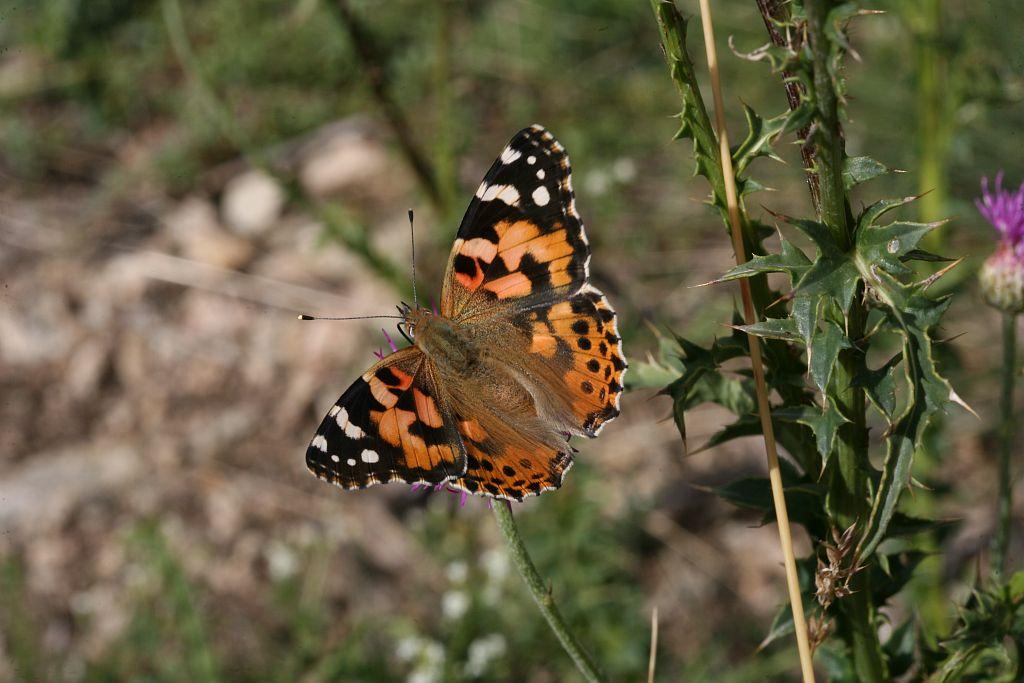 Belle dame - © B.Nicollet - Parc national des Écrins