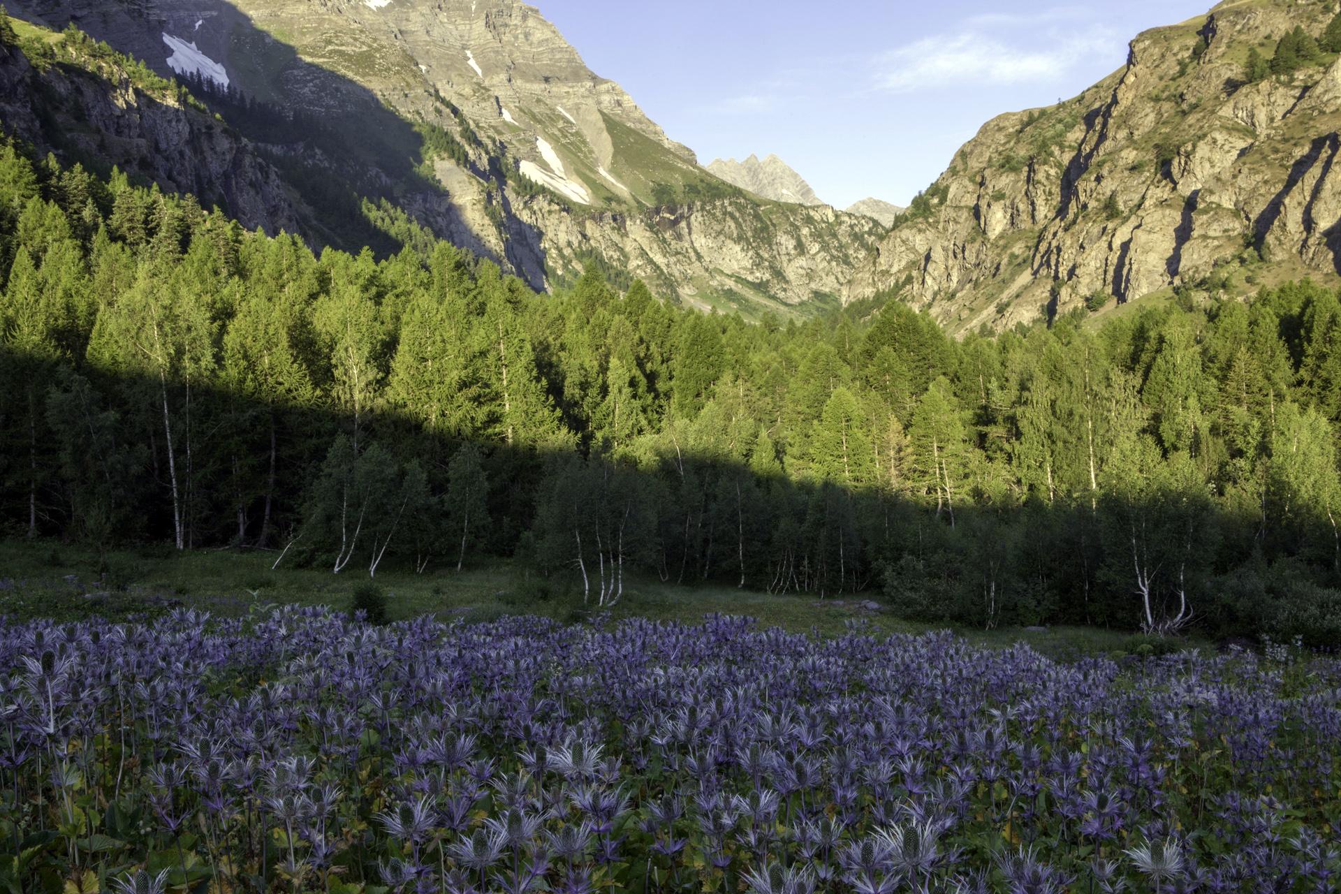 Les chardons bleus ou reine des Alpes dans le vallon du Fournel © PNE / Saulay Pascal