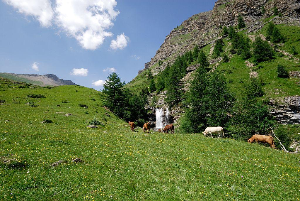 Vaches au Distroit - Châteauroux les Alpes © Mireille Coulon - Parc national des Ecrins