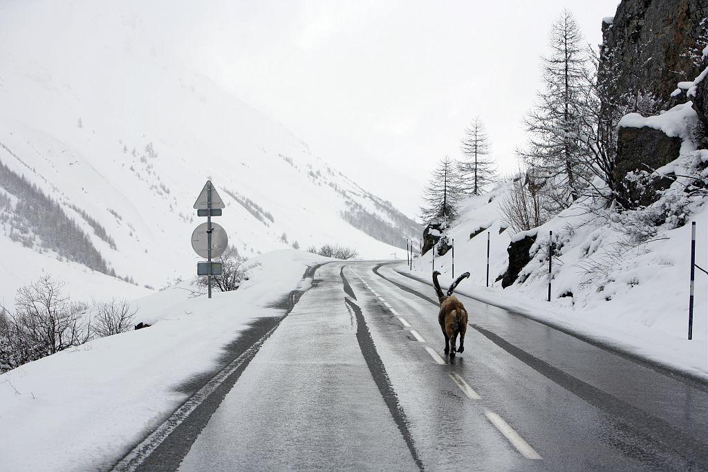 A proximité du Pont de l'Alpe, Omar, le bouquetin se déplace sur la RD1091, route départementale. Ailleurs, on trouve 80cm de neige fraîche © Cyril Coursier - Parc national des Ecrins