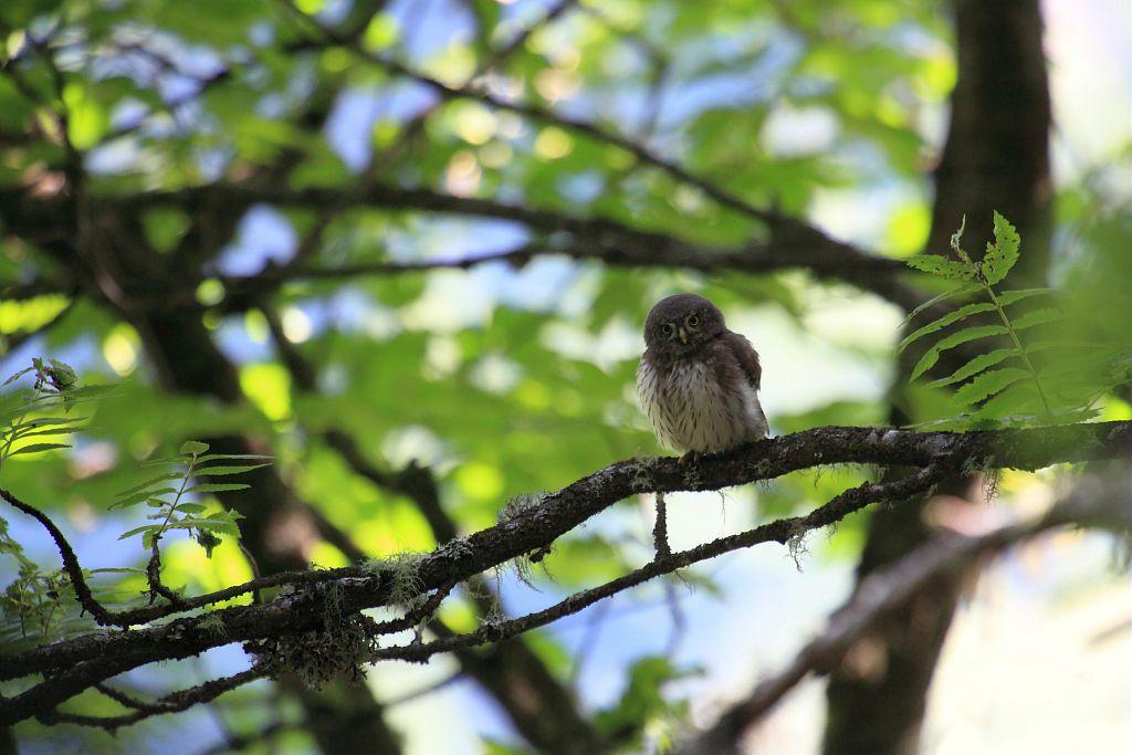 Chevêchette d'Europe - Forêt du Roy - La Motte en Champsaur © Marc Corail - Parc national des Ecrins