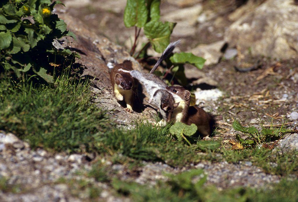 Prédation d'une hermine sur un lérot © Robert Chevalier - Parc national des Ecrins
