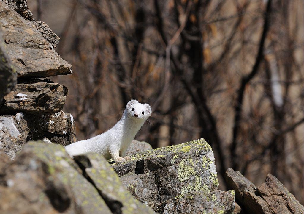 Hermine blanche, en pelage d'hiver, sur fond de rocher © Mireille Coulon - Parc national des Ecrins