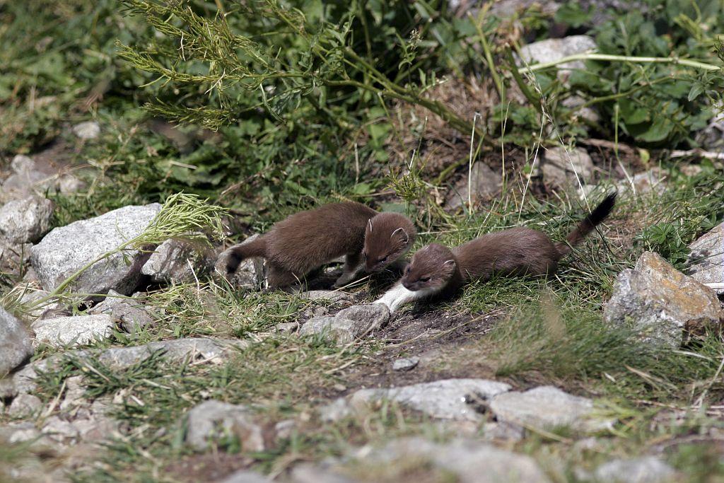Famille d'hermines à la bosse de Clapouse en été © Robert Chevalier - Parc national des Ecrins
