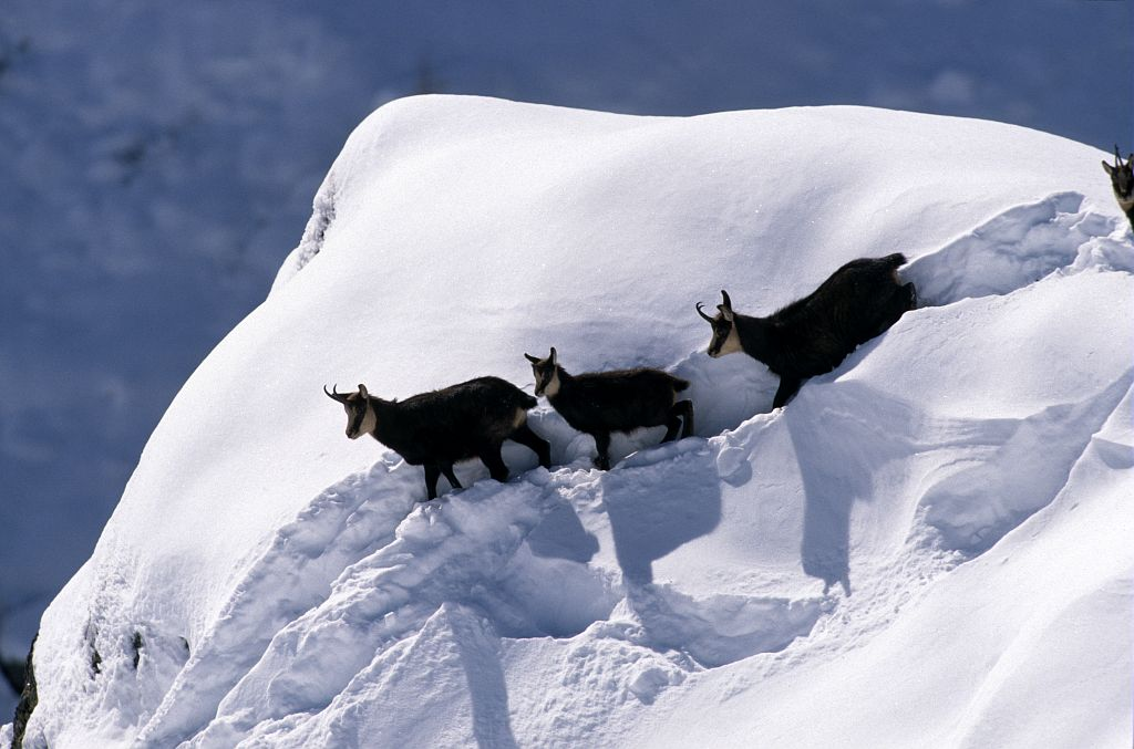 Chamois © Robert Chevalier - Parc national des Ecrins